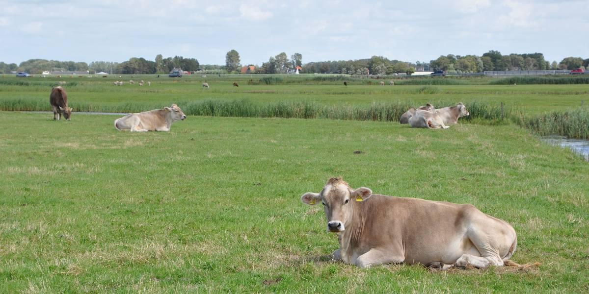 koeien hoog weide